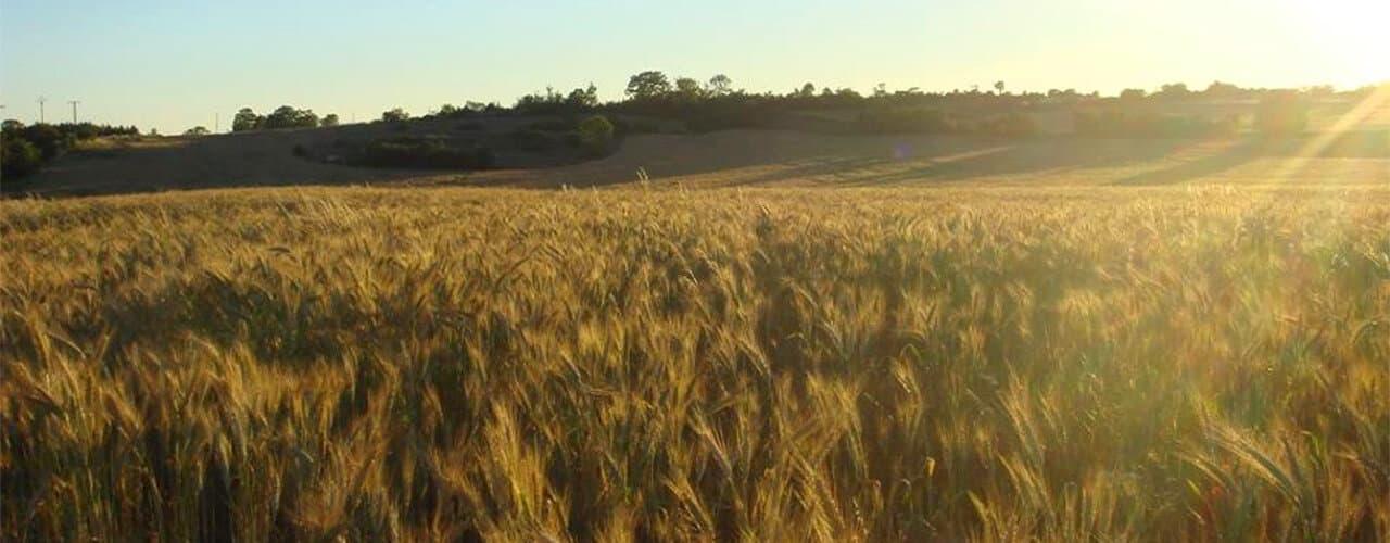 Champ de blé du Causse Noir